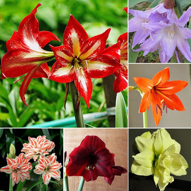 LOT 100pcs Mixed Color Amaryllis Seeds Barbados Lily, Amaryllis flower See U2P5