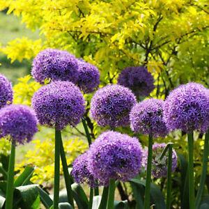 8Pcs-Purple-Giant-Allium-Giganteum-Flower-Black-Seeds-Garden-Planted-Decorations