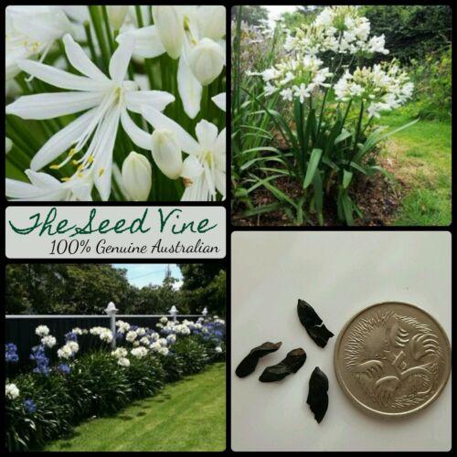 WHITE AGAPANTHUS SEEDS 10 Beautiful Garden Flowers Hardy Orientalis White