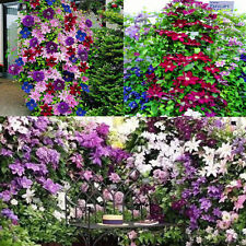100Pc Rainbow Colors Clematis Flower Mixed Seeds, Clematis Climbing Plants Seeds