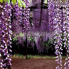 10 Piezas Semillas Seed De Glicinia Wisteria Sinensis Wisteria árbol Apto Jardín