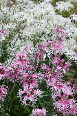 PERENNIAL FLOWER DIANTHUS RAINBOW LOVELINESS 6000 SEEDS BULK