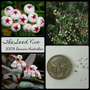 20-TASMANIAN-SNOW-BERRY-SEEDS-Gaultheria-hispida-Native-Edible-Medicinal