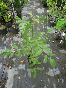 Euodia-hupehensis-Bienenbaum-90-100cm-Tausendbluetenstrauch-Tetradium-daniellii
