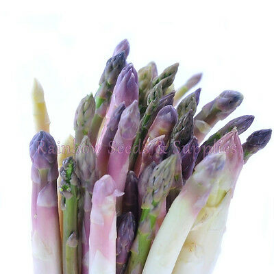 "500+ PURPLE DUTCH ASPARAGUS SEEDS! Heirloom ""EARLY PRECOCE D'ARGENTEUIL""9100mgs"
