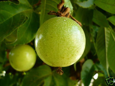 8 graines de GRENADILLE JAUNE Passiflora Edulis Flavicarpa G408 SEEDS SEMILLAS