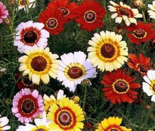 700 Samen Einjährig /& Biennial Ca Chrysantheme Carinatum Frohe Gemischte