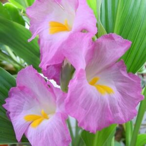 Rare-034-Pink-African-Trumpet-Ginger-034-Beautiful-Siphonochilus-kirkii