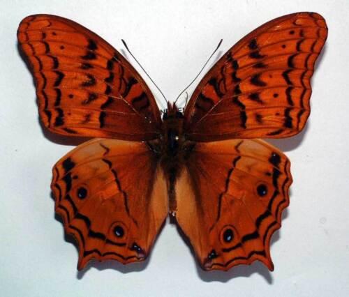 unmounted butterfly VINDULA DEJONE BURUANA