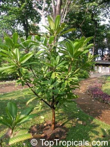 Elephant Apple Dillenia indica 20-100 Samen Indischer Rosenapfel