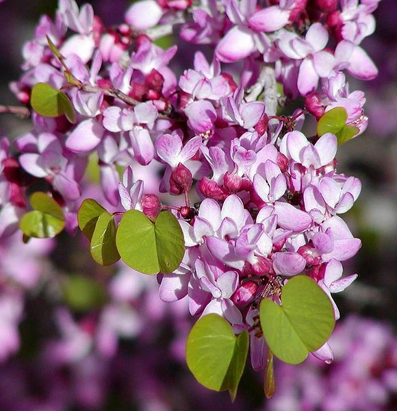 Western Redbud Cold Hardy Flowering