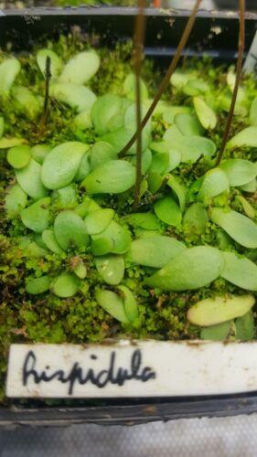 flexuosa violacea aurea Genlisea plants marg... Africana different species