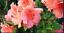Salmon Pink Flower Azalea Duc de Rohan 4 INCH Pot Evergreen