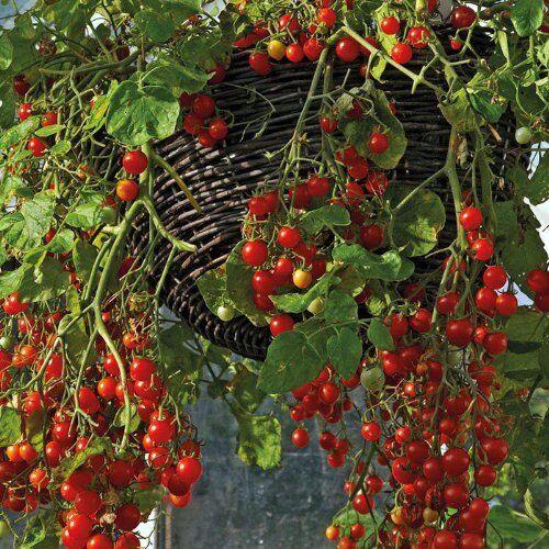 Cherry-Tomate Tomaten Garden Pearl 10 Samen