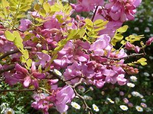 15 rose locust pink acacia flower robinia hispida fertilis tree image is loading 15 rose locust pink acacia flower robinia hispida mightylinksfo