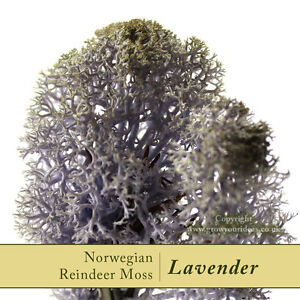 Dried-Reindeer-Moss-Lavender-Perfect-for-air-plants-terrariums-and-Crafts