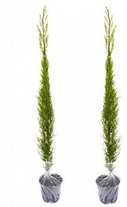 image is loading pair of italian cypress trees 1 2 1