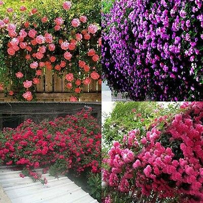 Multicolor 100pcs Climbing Rose Seeds Perennial Fragrant Flower Garden Decor
