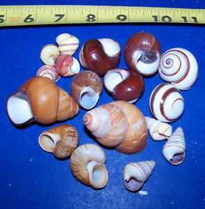 25 ASSORTED SNAIL /& TURBO SHELLS HERMIT CRAB /& SPONGE CRAFTS WEDDING DECOR