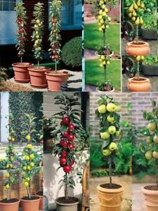 3-x-Fruit-Trees-collection-2-plum-1-sloe-not-dwarf-stay-small-potted
