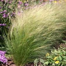 50 Fresh Seeds of Stipa tenuissima /'Pony tails/' Mexican Feather Grass
