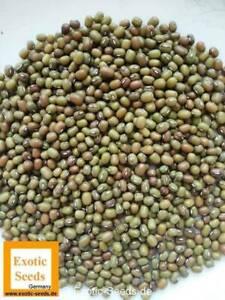 Vigna-radiata-Mungobohne-Jerusalembohne-Lunjabohne-100-1-000-Samen