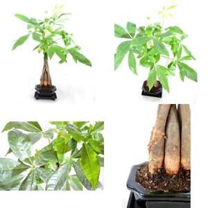 Money Tree Bonsai Plant 4 Pound Indoor Ceramic Pot Houseplant Best Gift New 7790518503430 Ebay