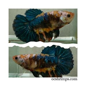 Galaxy Giant Betta OCF-508 ( Female) 2 Inches