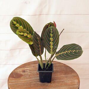 "LIVE Red Maranta prayer plant evergreen indoor vine houseplant in 3"" growers pot"