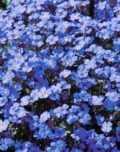 blaukissen blau polsterstaude steingarten staude bl tenmeer winterhart 50 samen ebay. Black Bedroom Furniture Sets. Home Design Ideas