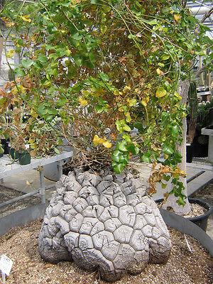 Dioscorea Elephantipes (5-100 SEEDS) Very Rare Caudex Korn Samen Semi  種子 씨앗