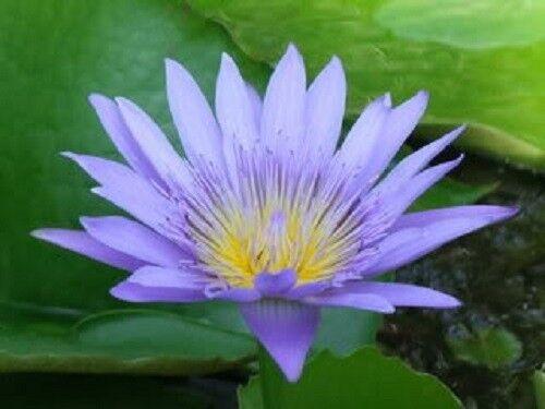 10 Blaue Lotus Nymphaea Caerulea Asiatische Water Lily Pad Blume Teich Samen