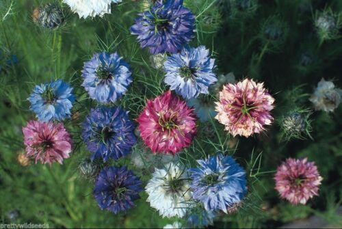Nigella Persian Jewels Cottage garden border flower love in a mist 4,000  seeds