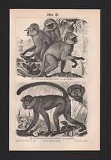 Lithografien 1897: Affen III/IV. Hulman Mohrenaffe Mandrill Dril Makak Magot