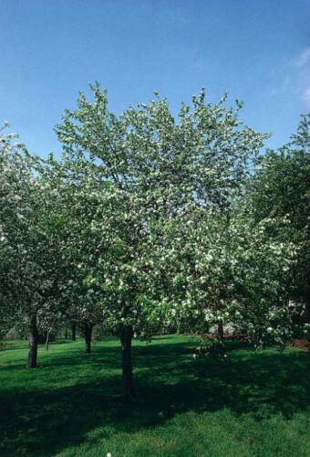 Malus baccata Fast, Fragrant, Hardy Siberian Crab Apple Tree Seeds,