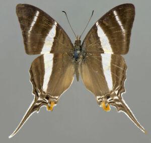 MARPESIA-ORSILOCHUS-male-PERU-unmounted