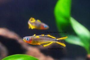 """(6) .75"""" Forktail Blue Eye Rainbowfish TR Pseudomugil furcatus Live Tropical"""