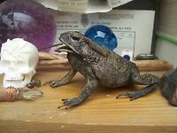 """preserved real TOAD apprx. 8 cms : 3 1/2"""" : Halloween Pagan Hubble Bubble Goth"""