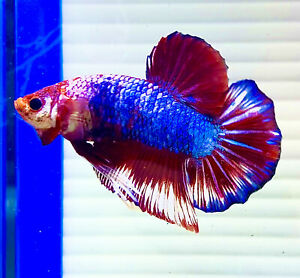 "US SELLER (AGrade)Male Burgundy Blue Marble 3"" Giant Betta imported frm Thailand"