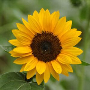 50 Pcs Mini Dwarf Yellow Sunflower Flower Seeds Plant Home Office D Garden J9D9