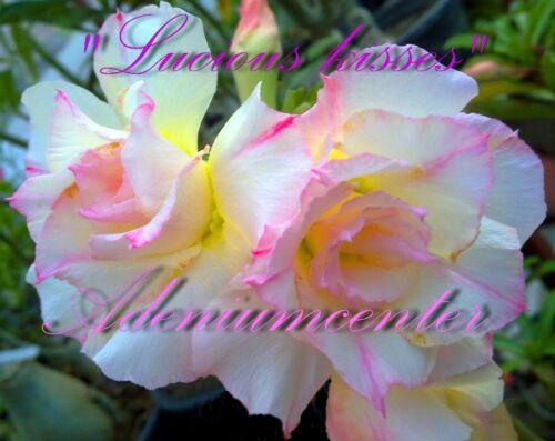 "Adenium Obesum Desert Rose Triple Fleur /""Lucious KISSES/"" 20 graines recommandé"