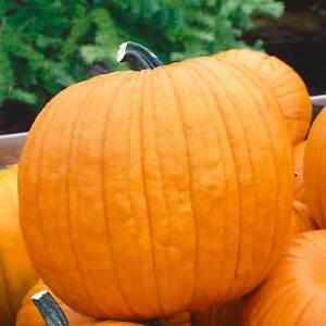 PUMPKIN-GARDEN-SEEDS-HOWDEN-VARIETY-NON-GMO-HEIRLOOM-JACK-O-039-LANTERN