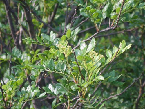 Szechuanpfeffer Zanthoxylum schinifolium Pflanze 15-20cm Japanischer Pfeffer