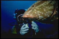 634005 Nassau Grouper Provo Turks And Caicos Islands A4 Photo Print