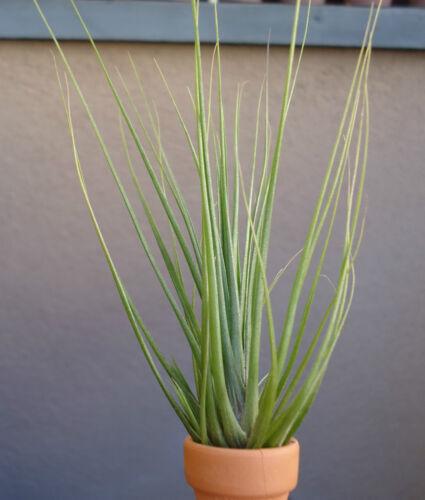 Tillandsia Seideliana Air Plants