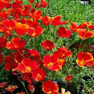 California Poppy Flower Seeds Red Bulk 6000 Seeds Ebay