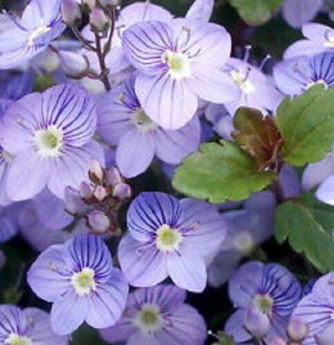 50 Perennial Veronica Creeping Blue Speedwell Flower Seeds