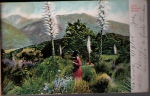 1279-Postcard-Yucca-In-Bloom