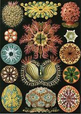 Art Forms in Nature: Ernst Haeckel: Ascidiae - Fine Art Print