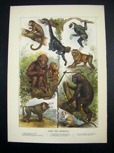 1889 Antique Original Victorian Chromolithograph Print ~ APES MONKEYS ~ PRIMATES